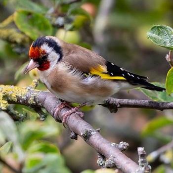 siska fågel